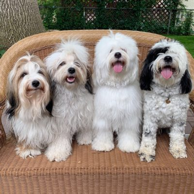 Four Tibetan Terriers of different colors pose on a patio