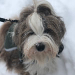 A Tibetan Terrier with snowflakes on her face