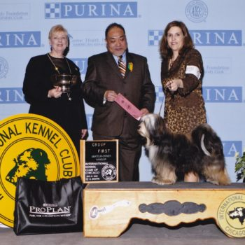 Sable and white Tibetan Terrier poses for a win photo