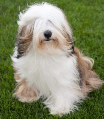 Tibetan Terrier with hair flowing in the wind