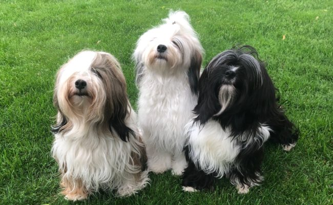Brown, white, and black Tibetan Terriers pose together on grass