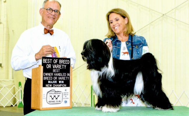 Black and white Tibetan Terrier puppy receives a ribbon