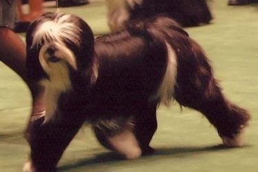 Black and white Tibetan Terrier gaits in the ring at Westminster