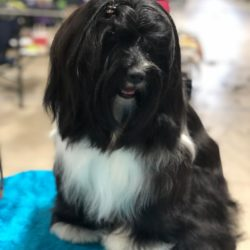 Black and white Tibetan Terrier poses on grooming table
