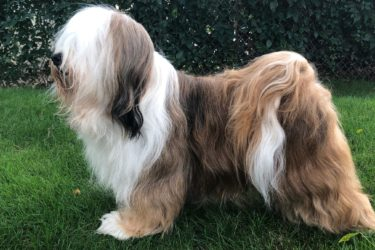 A Tibetan Terrier profile
