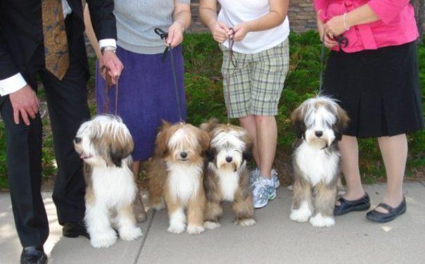 Four Tibetan Terrier littermates