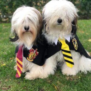 Tibetan Terriers in Harry Potter costumes