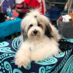 White and brown Tibetan Terrier on a colorful towel at a dog show