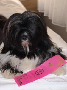 Tibetan Terrier poses on a bed with a pink ribbon