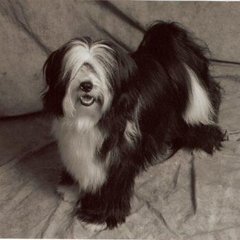 Black and White Tibetan Terrier