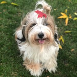 A Tibetan Terrier with a leaf on her head