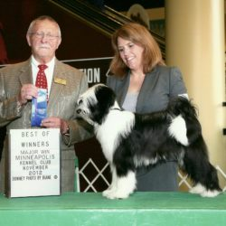Black and white Tibetan Terrier puppy