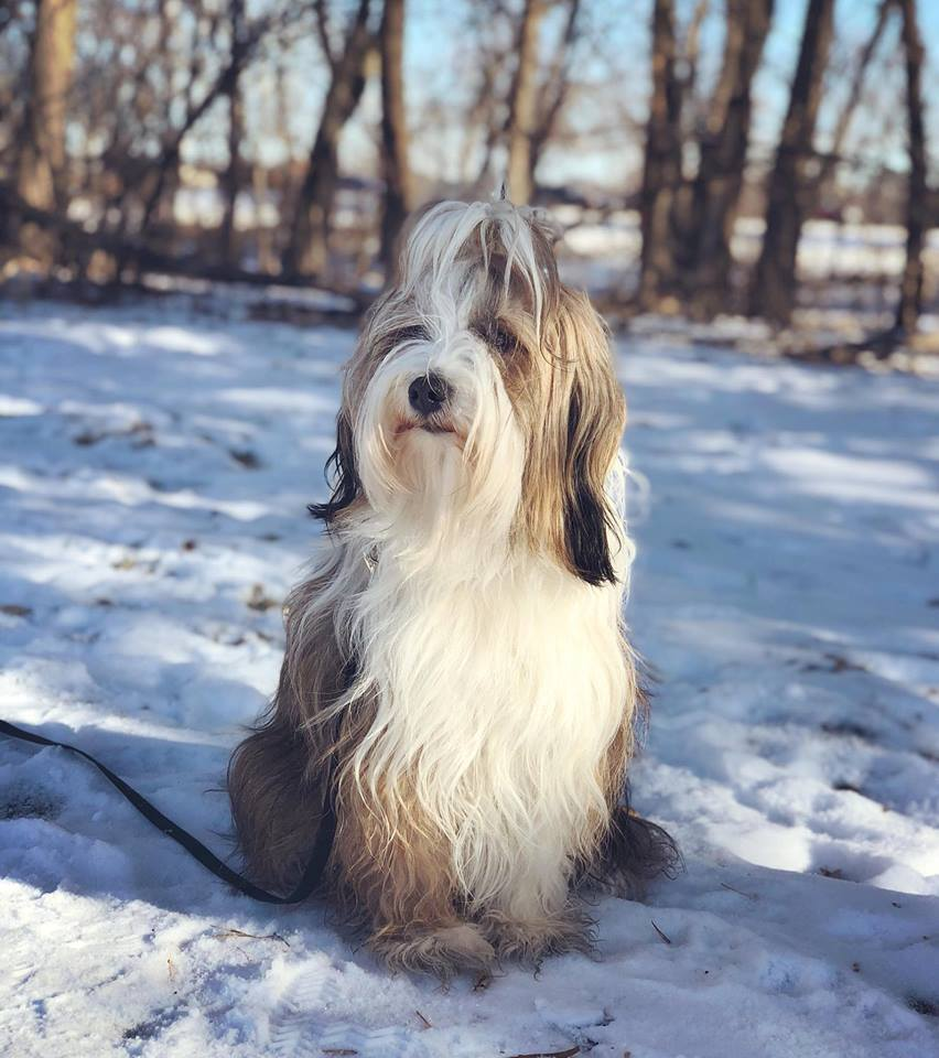 Tibetan Terrier poses in the snow