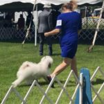 White Tibetan Terrier moves in the dog show ring with handler