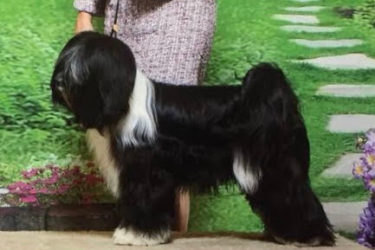 Black and white Tibetan Terrier poses with handler